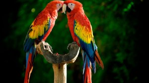 colored birds kissing colour