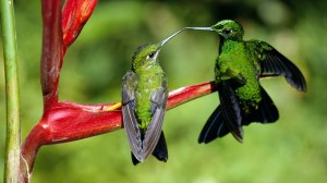 hummingbirds kissing on the fly