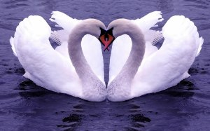 swans makes heart with neck